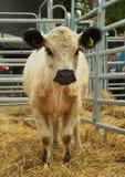 Stående av ett djur - en kalv av den Galloway nötkreaturaveln Royaltyfri Bild