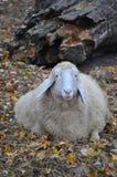 Stående av ett får Royaltyfria Foton