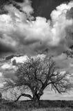 Stående av ett forntida mullbärsträdträd i bw Royaltyfria Foton