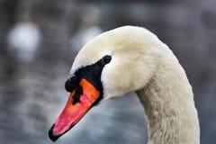 Stående av ett huvud för svan` s fotografering för bildbyråer