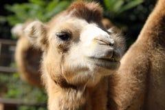Stående av ett kamelslut upp Arkivbild