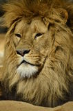 Stående av ett lejon Arkivfoton
