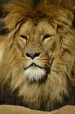 Stående av ett lejon Royaltyfria Bilder