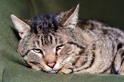 Stående av ett slut för färgstrimmig kattkatt upp royaltyfri bild