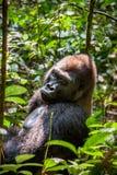 Stående av ett slut för gorilla för västra lågland (gorillagorillagorilla) upp på ett kort avstånd västra male silverback för vux Royaltyfri Foto