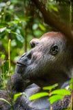 Stående av ett slut för gorilla för västra lågland (gorillagorillagorilla) upp på ett kort avstånd västra male silverback för vux Arkivbild