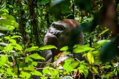 Stående av ett slut för gorilla för västra lågland (gorillagorillagorilla) upp på ett kort avstånd västra male silverback för vux Arkivbilder