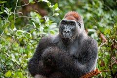 Stående av ett slut för gorilla för västra lågland (gorillagorillagorilla) upp på ett kort avstånd västra male silverback för vux Royaltyfri Bild