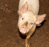 Stående av ett svin på en lantgård Arkivbilder