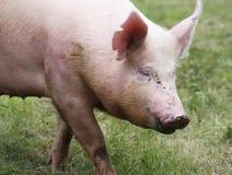 Stående av ett ungt svin på den djura lantgården på äng för grönt gräs Fotografering för Bildbyråer