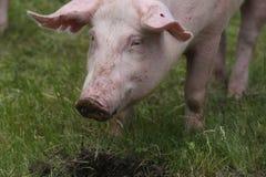 Stående av ett ungt svin på den djura lantgården på äng för grönt gräs Arkivbilder