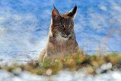 Stående av Eurasianlodjuret på insnöad vinter Arkivfoton