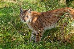 Stående av Eurasianlodjuret som plattforer i långt gräs Arkivbilder