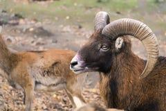 Stående av europeiskt mouflonRAM arkivfoton