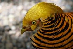 Stående av fågeln för guld- fasan, ett slut för guld- fasan upp, lös guld- fasan i naturslutet upp, tropisk färgrik bir Arkivbild