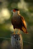 Stående av fåglar av rovCaracaraplancusen, sydlig Caracara som sitter i gräset, Pantanal, Brasilien Royaltyfri Fotografi