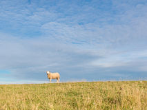 Stående av får i gräs Fotografering för Bildbyråer