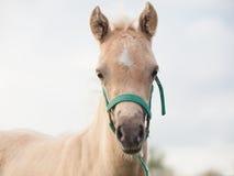Stående av fölet för welsh ponny molnig afton Royaltyfria Bilder