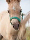Stående av fölet för welsh ponny molnig afton Arkivfoto