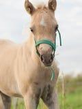 Stående av fölet för welsh ponny molnig afton Royaltyfri Fotografi