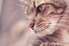 Stående av för strimmig kattkatt för brun makrill den unga vännen för husdjur förtjusande, närbild, curiousness som ser och hålle fotografering för bildbyråer