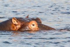Stående av flodhästflodhästflodhästen Arkivfoto