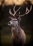 Stående av fullvuxna hankronhjorten för röda hjortar Royaltyfri Fotografi