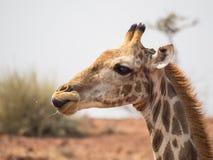 Stående av giraffhuvudet från sidan, Palmwag medgivande, Namibia, sydliga Afrika royaltyfri bild