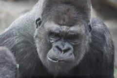 Stående av gorillan arkivfoto