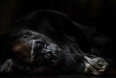 Stående av gorillan för vuxen man som knuffar middlefinger Royaltyfri Fotografi