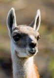 Stående av guanacoen del paine torres chile Fotografering för Bildbyråer
