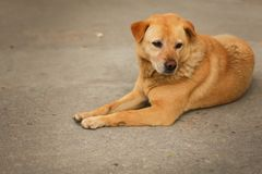 Stående av gullig ledsen brunt eller den röda hunden som ligger eller vilar på på asfalt i selektiv fokus arkivbild