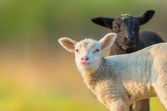 Stående av gulliga olika svartvita unga lamm på pastur Royaltyfri Foto
