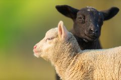 Stående av gulliga olika svartvita unga lamm på pastur Arkivbilder