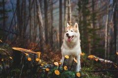 Stående av gulligt vått skrovligt sitta för hundavelsiberian i den sena höstskogen på regnig dag royaltyfria bilder