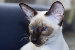 Stående av härlig skyddsremsa-punkt för blåa ögon den orientaliska katten Arkivfoto