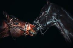 Stående av härliga avelhästar på svart bakgrund royaltyfri foto