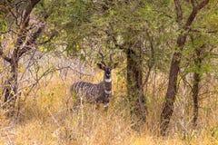 Stående av härligt lesser kudu i busksnåren av Meru Kenya Afrika Arkivbilder