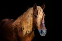 Stående av hästar Royaltyfria Bilder