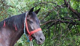 Stående av hästen Arkivbild