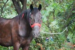 Stående av hästen Arkivfoton