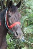 Stående av hästen Arkivfoto