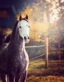 Stående av hästen med det vita huvudet på naturbakgrund royaltyfria bilder