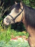 Stående av hingsten för welsh ponny Arkivfoton
