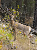 Stående av hjortar i trän arkivbild