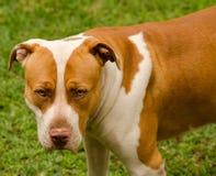 Stående av hunden Royaltyfri Foto
