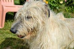 Stående av hunden för irländsk varghund för skönhet som poserar i trädgården Fotografering för Bildbyråer