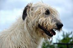 Stående av hunden för irländsk varghund för skönhet som poserar i trädgården Royaltyfri Bild