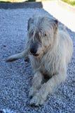 Stående av hunden för irländsk varghund för skönhet som poserar i trädgården Hund som ligger på jordningen Royaltyfri Bild