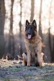 Stående av hunden för tysk herde i vårmorgonsol Royaltyfri Bild